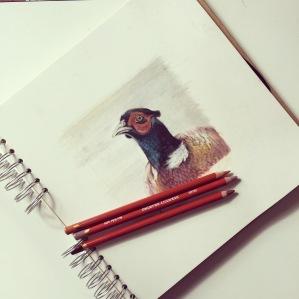 pheasant drawing sketch Casey Allum artist