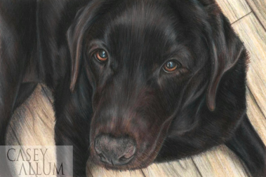 chocolate labrador pet portrait pencil drawing Casey Allum artist