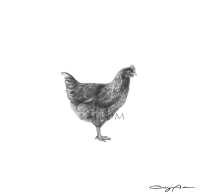 Pencil Chicken Drawing Print