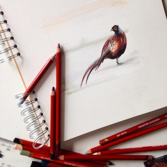 pheasant drawing colour sketch Casey Allum artist