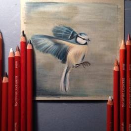 blue tit drawing colour pencil Casey Allum artist