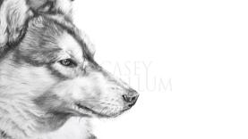 husky pencil drawing pet portrait dog Casey Allum artist