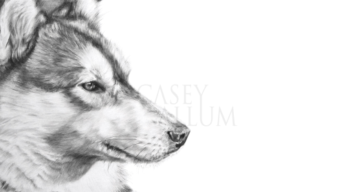 husky pencil drawing pet portrait dog Casey Allum artist