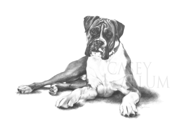boxer portrait dog drawing pencil