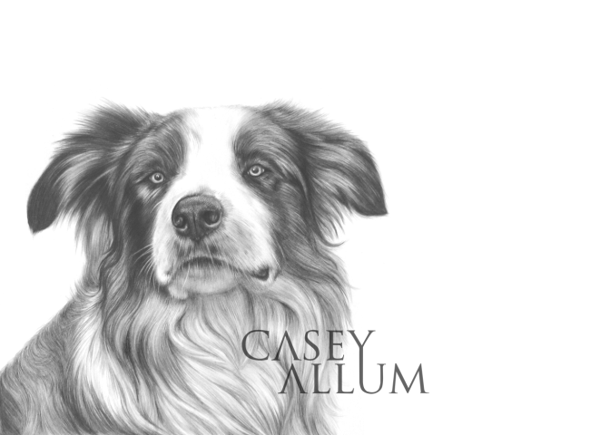 border collie pencil drawing dog portrait Casey Allum