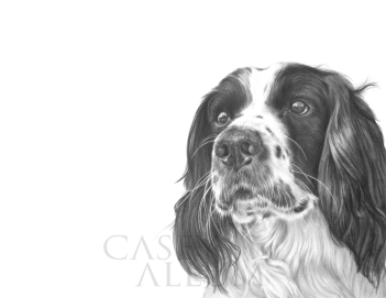 springer spaniel drawing dog portrait in pencil