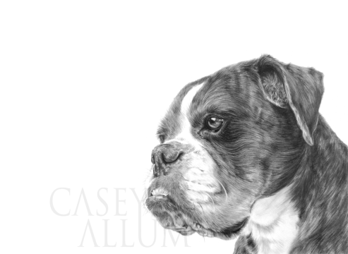 boxer pencil drawing pet portrait dog Casey Allum artist