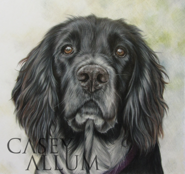 springer spaniel pet portrait dog drawing Casey Allum artist