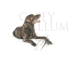 chocolate labrador pencil drawing pet portrait