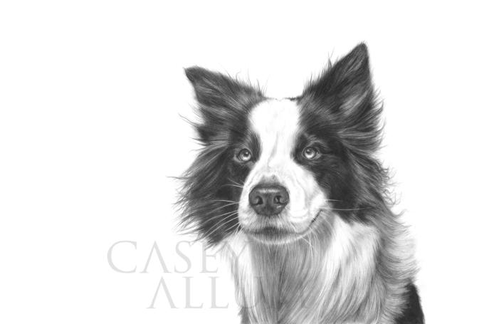 border collie pet portrait dog pencil drawing Casey Allum artist
