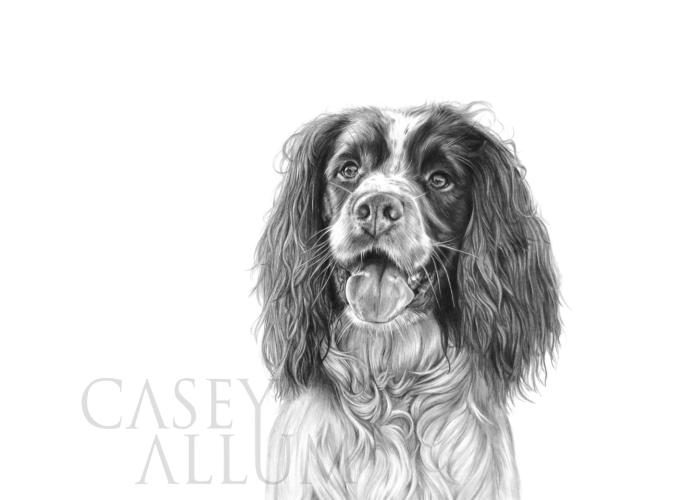 springer spaniel pencil drawing pet portrait Casey Allum artist