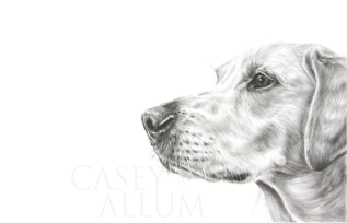 yellow labrador pencil drawing dog portrait
