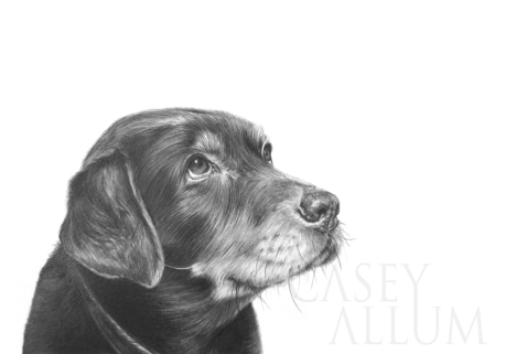 labrador pet portrait pencil drawing Casey Allum artist