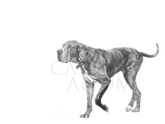 great dane pencil drawing dog portrait Casey Allum