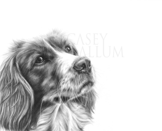 working cocker pencil drawing dog portrait Casey Allum