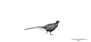 Pheasant Pencil Drawing Print