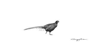 Pheasant Pencil Drawing Print